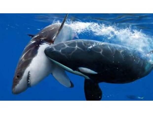 Касатки открыли охоту на белых акул