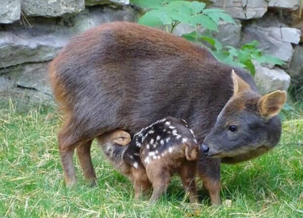 Пуду. Карликовый олень чуть крупнее кошки
