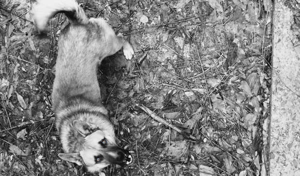 Соцсети: стая собак напала на ребенка около магазина в Петрозаводске