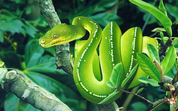 Зеленый питон
