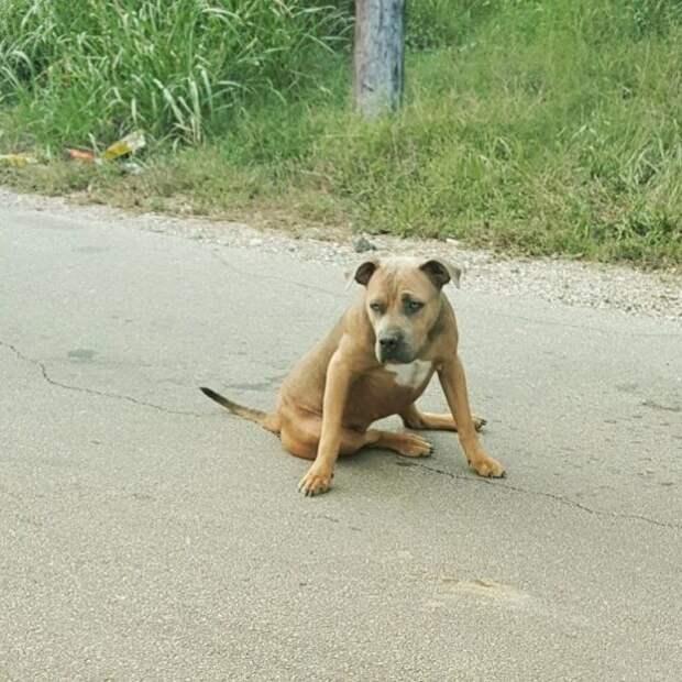 Пса избили и бросили на обочине: невероятная история спасения питбуля Мерси