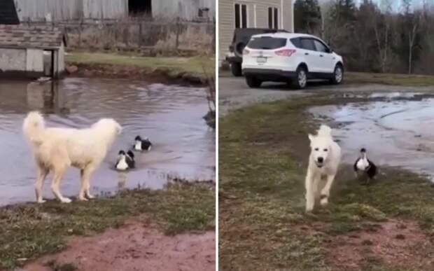 Пес довел двух диких уток до белого каления и остался доволен собой