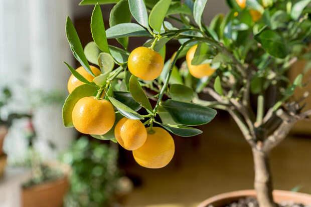 Привитый комнатный мандарин плодоносит ежегодно