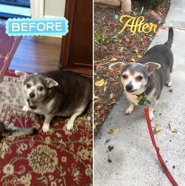 20. Такого результата Бадди добился за 6 месяцев диета, до и после, домашний питомец, животные, похудела, собака, фигура