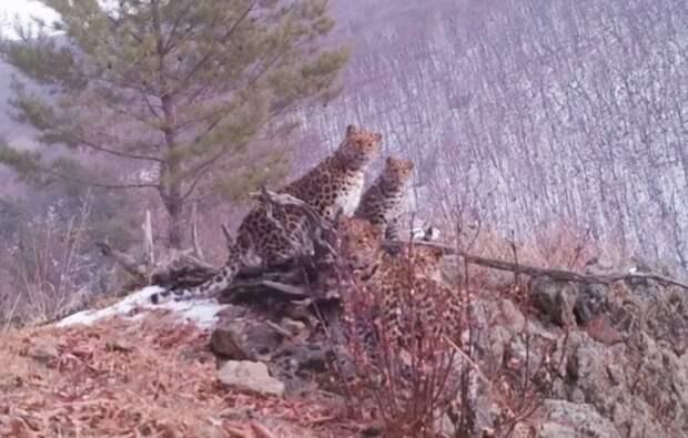 «Редкое явление»: семья краснокнижных леопардов попала навидео вПриморье