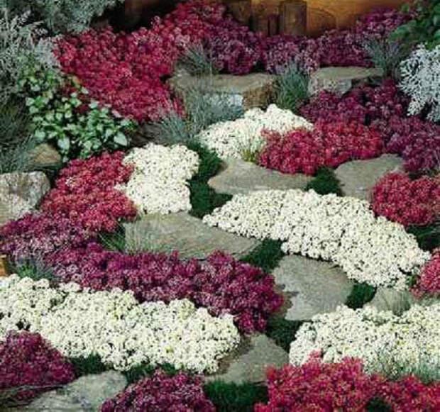Низкорослые цветы для клумбы, которые будут цвести все лето