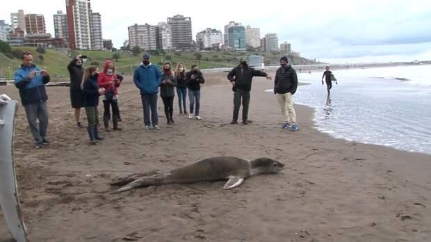 Жители Аргентины спасли морского леопарда. ФАН-ТВ