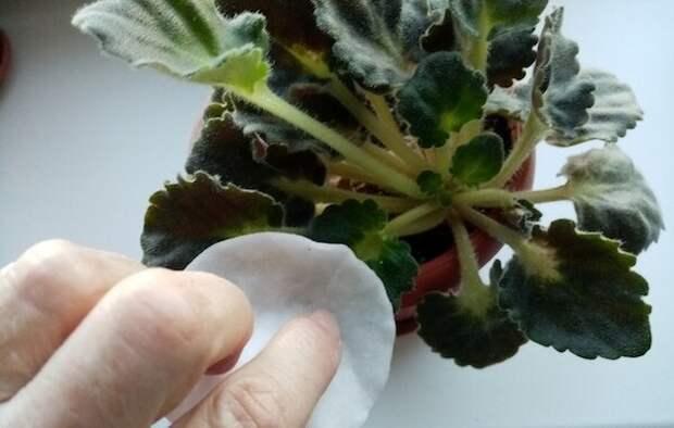 Как правильно «помыть» фиалку, ведь мочить листья нежелательно? 3 простых способа без вреда для растения