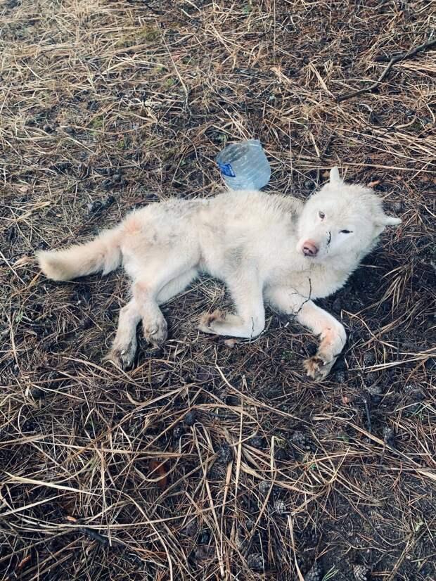 Недавно спасённый в Тверской области белый хаски идёт на поправку