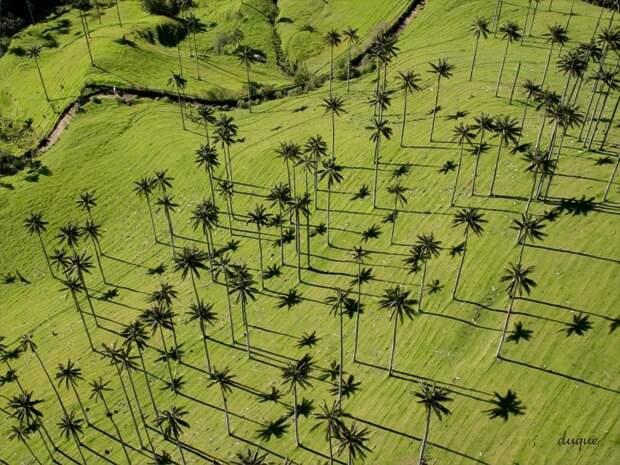 Самая высокая пальма мира Ceroxylon quindiuense (Киндиойская восковая пальма, вырастают до 50-ти метров( деревья, невероятное, природа, удивительное, флора