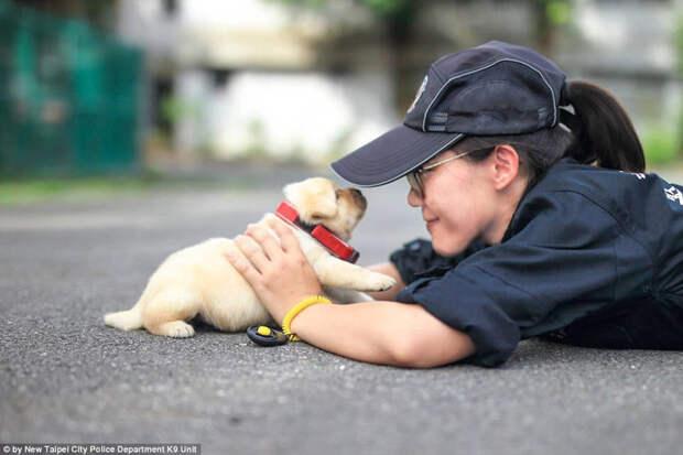 Полиция Тайваня взяла на службу самых милых четвероногих сотрудников в мире Тайвань, животные, милота, полиция, служба, собака, щенок