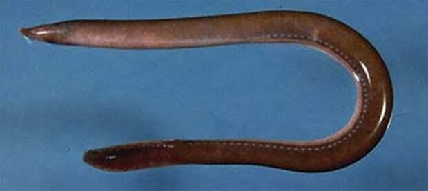 Миксина (Hagfish)