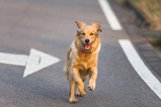 Рыжая собака бежала за машиной несколько километров, потому-что хозяину она уже была не нужна