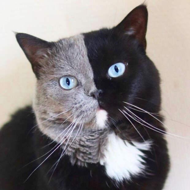 Котята двуликого кота покличке Нарния разделили окрас своего отца