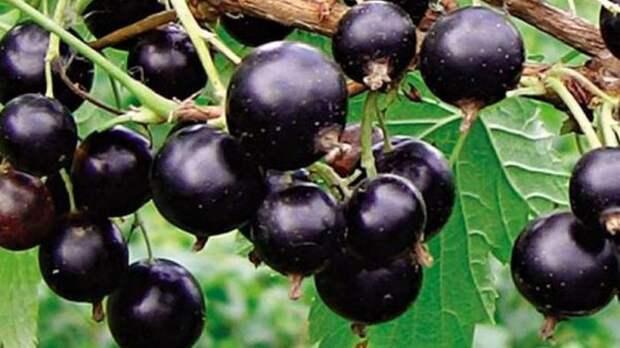 Когда и как размножать черную смородину