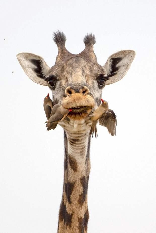 Маленькие птички оказывают самому высокому наземному животному стоматологическую помощь буйволовый скворец, животные, жираф, зуб, стоматолог, танзания, фото