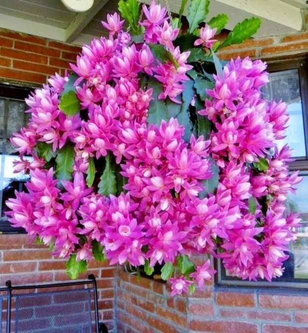 Disocactus phyllanthoides гирлянды, интересное, красота, природа, фотомир, цветы