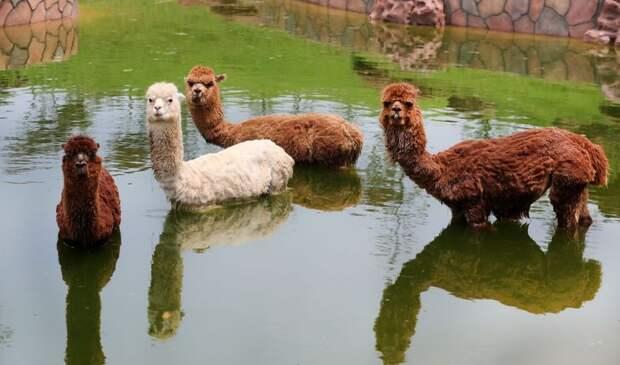 Животные, которым летняя жара даётся совсем непросто