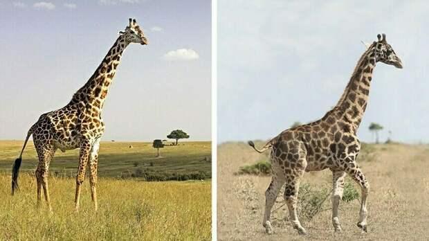 Сравнительные фото здорового жирафа и карликового жирафа с дисплазией