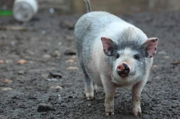 Режим ЧС ввели в Приморье из-за вспышки африканской чумы свиней