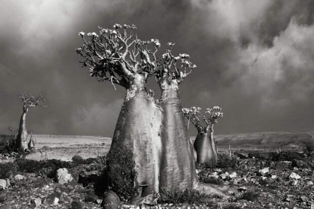 Cтарейшие деревья на планете