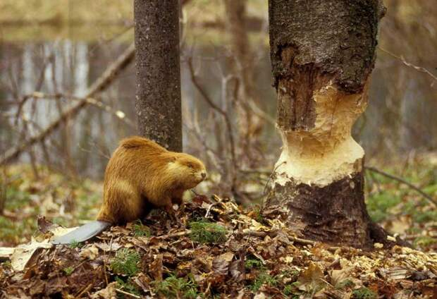 бобер валит дерево
