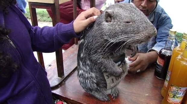 Познакомьтесь с самой большой и обаятельной мышью на свете — пакараной