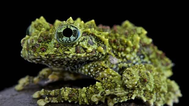 Мшистые лягушки, которые являются настоящими мастерами маскировки