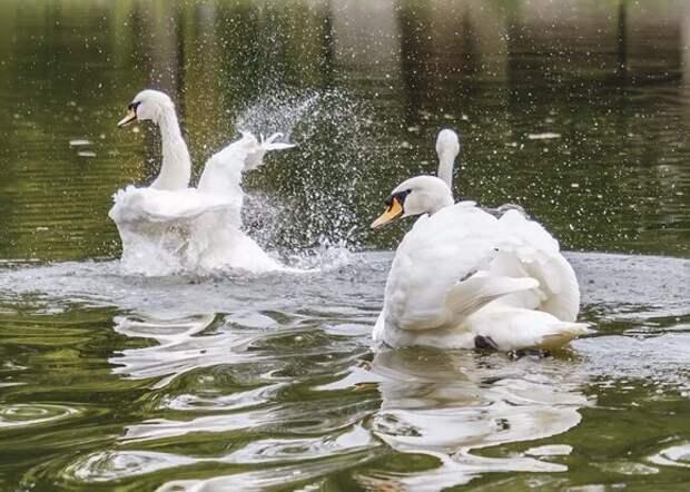 Шесть лебедей привезли на зимовку в сквер по Олонецкому проезду