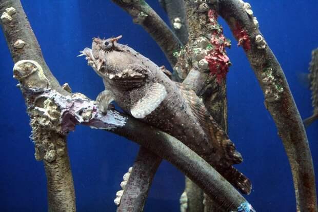 Рыба-лягушка (Opsanus tau)