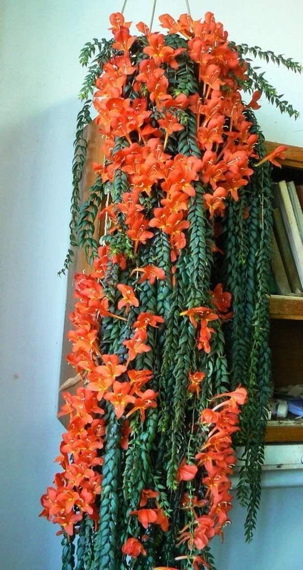 Columnea Arguta гирлянды, интересное, красота, природа, фотомир, цветы