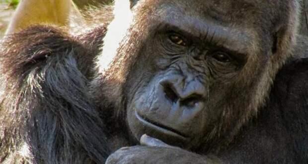 Чтобы молодая мать смогла передохнуть, юная горилла решила понянчить ее ребенка