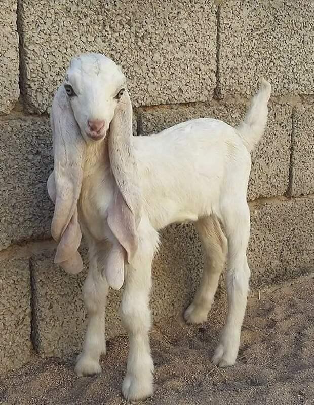 1. Порода, животные, козел, козы, необычные животные, саудовская аравия, селекция, уродливые животные