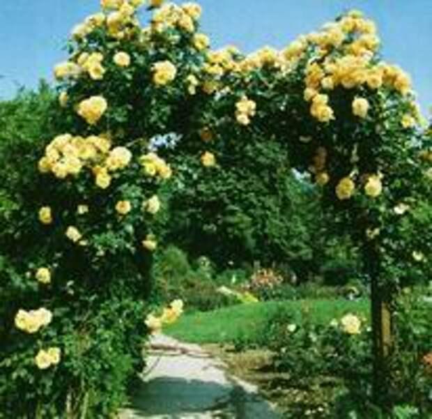 Арка из плетистых роз