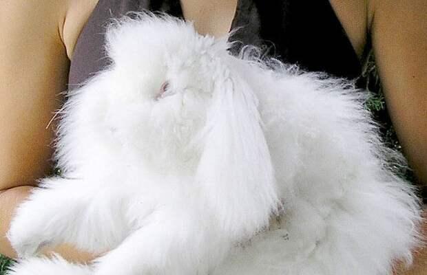 Ангорский кролик (Angora rabbit)