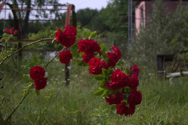 Польза одиночества Дача, Роза, Сад, Длиннопост