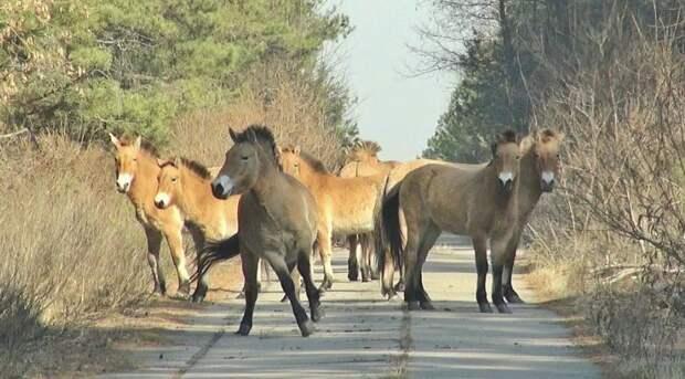 3 причины, почему в Чернобыльской зоне животные процветают несмотря на радиацию