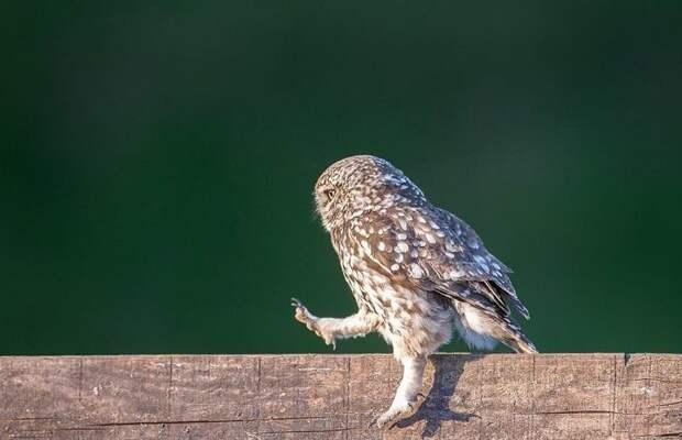 Фотограф сумел подловить сову на необычном развлечении Ланкашир, животные, забавно, птицы, редкие снимки, смешная сова, сова, фотограф-анималист