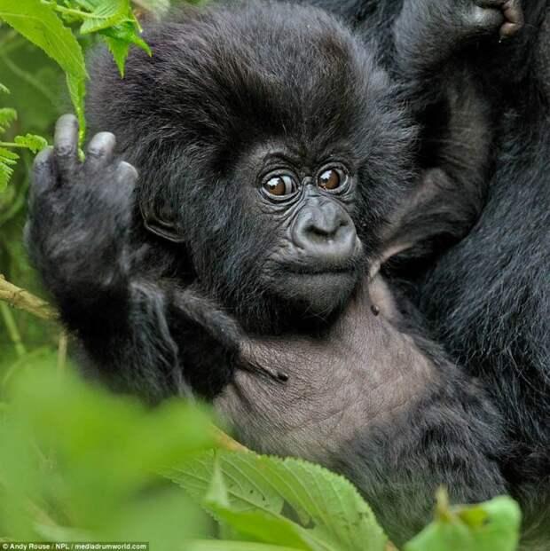 Фотограф заснял забавного детеныша гориллы