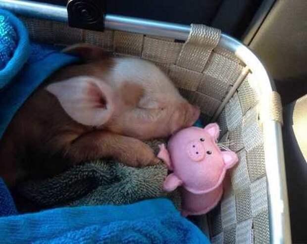 Мини-пиги, наши любимые свинки