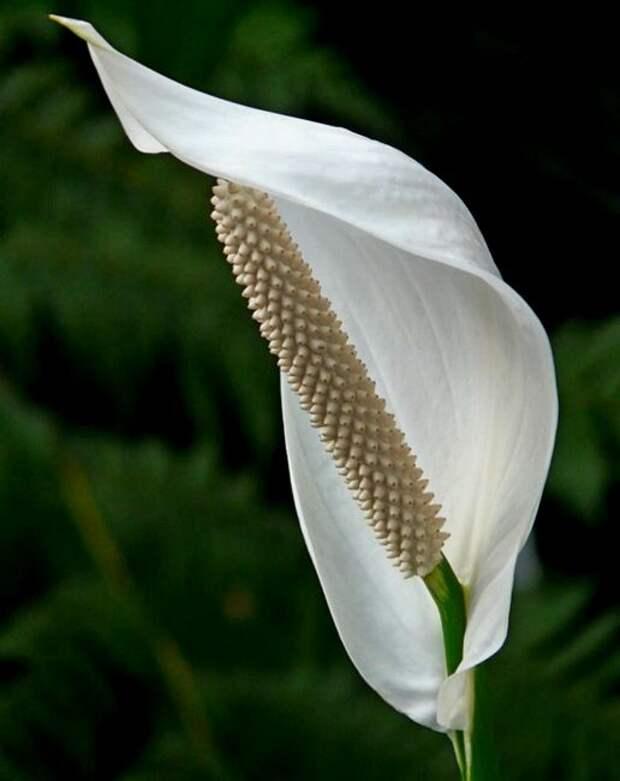 Цветок «Женское счастье» — болезни и лечение