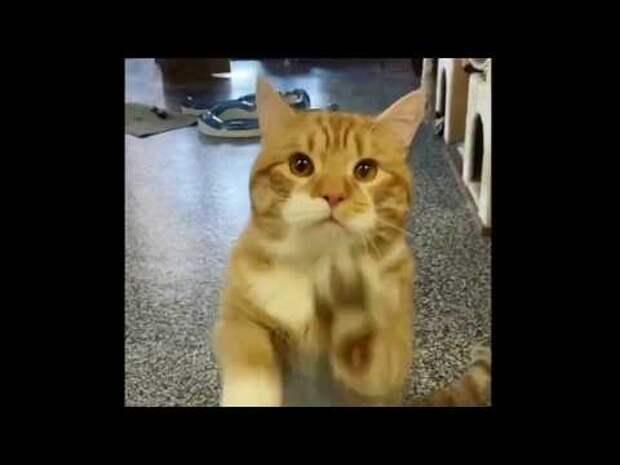 Кот заманивает посетителей лапками через стеклянную дверь – он хочет, чтобы кто-нибудь забрал его домой