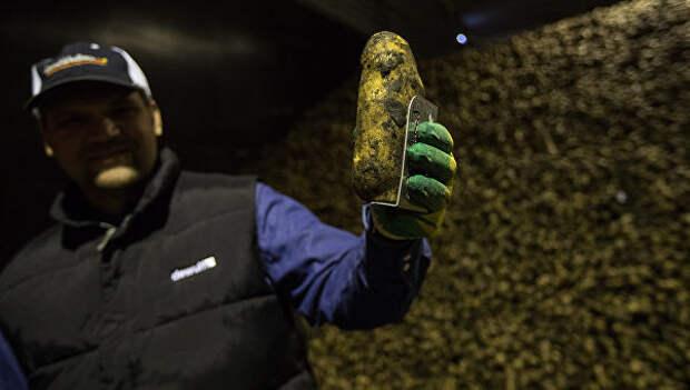 Демонстрация картофеля международного стандарта в хранилище в Тамбовской области