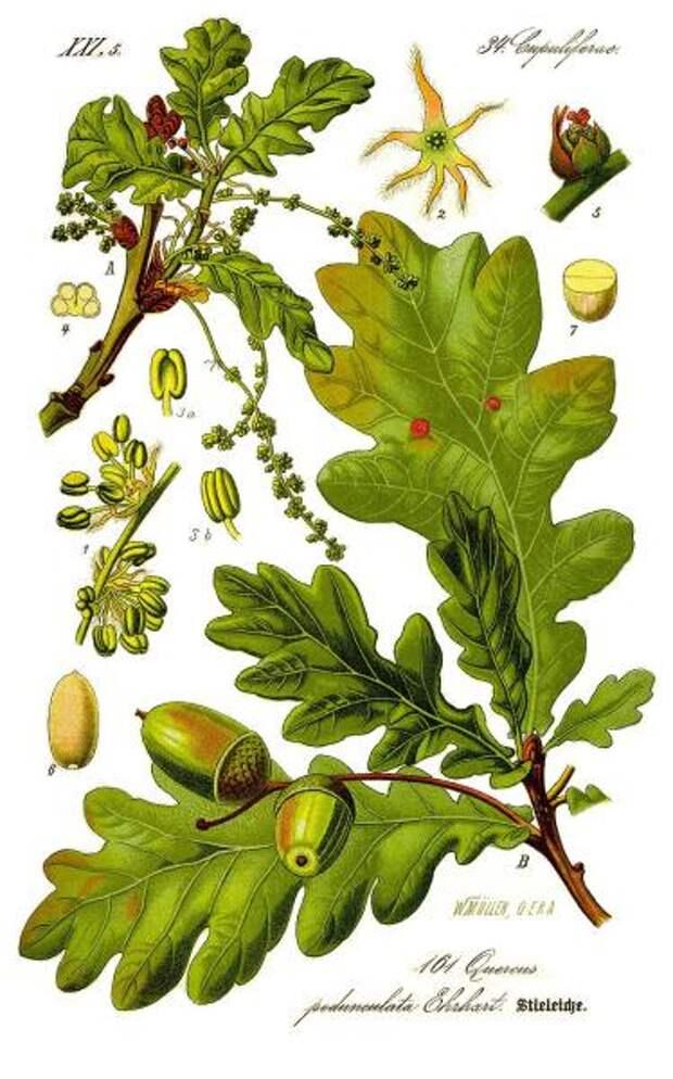 Дуб черешчатый. Ботаническая иллюстрация из книги О. В. Томе, 1885 г.