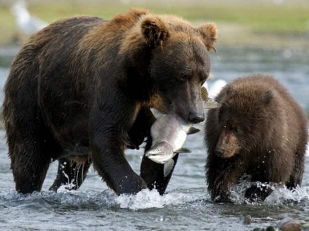 Бурый медведь. Описание, виды и образ жизни бурых медведей