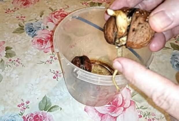 Как в домашних условиях прорастить грецкий орех