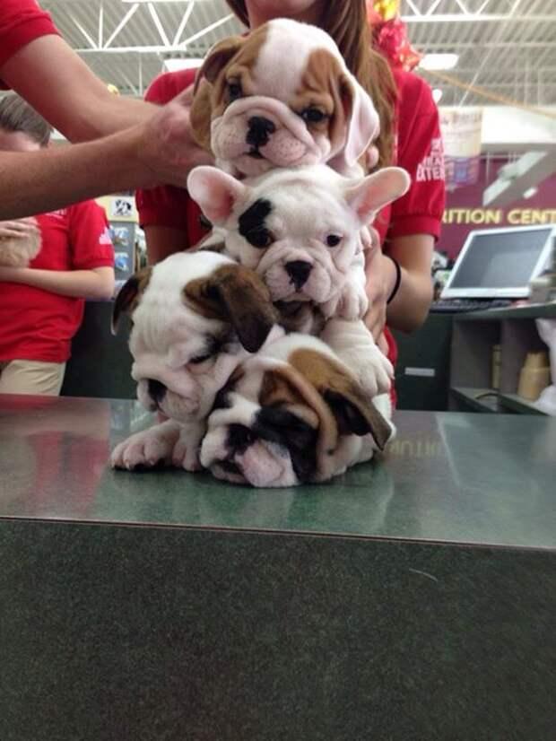 6. Кое-кому действительно идут морщинки животные, очарование, питомец, собака, фотография, щенок