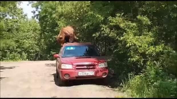 На Камчатке мишка попытался угнать Subaru Forester