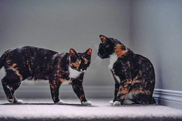 Ген, ответственный за узор кошачьей шерсти, может привести к появлению дизайнерских питомцев