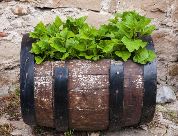 Используя бочки в качестве контейнеров для растений, не нужно скрывать их возраст